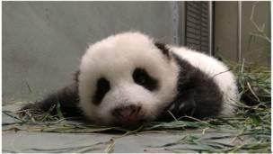 पांडा