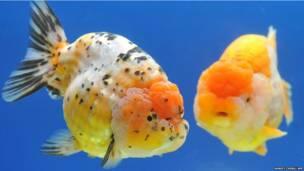 ताइवान, मछलियाँ, रांचू