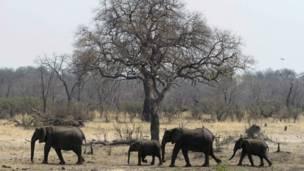 Un troupeau d'éléphants venus s'abreuver dans une mare dans le parc national de Hwange à 840 km de Hararé. Des braconniers ont tué plus de 80 éléphants en contaminant l'eau avec du cyanure. 27 09 2013 Photo Reuters