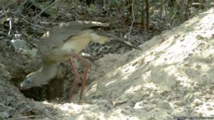 Una seriema investiga el hogar del armadillo. Proyecto Armadillo Gigante del Pantanal
