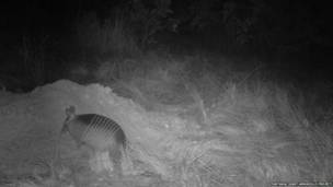 Armadillo de nueve bandas. Proyecto Armadillo Gigante del Pantanall
