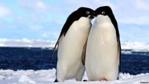 पेंग्विन का जोड़ा, बीबीसी पाठकों की भेजी तस्वीरें