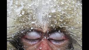 میمون مکاک ژاپنی