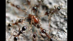 مورچه ها، اندونزی