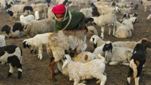 भेड़ और ठंड
