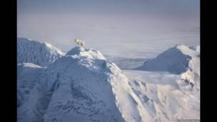 """Ice wolf"". Lobo ártico, 1986. Tomada en Ellesmere Island, Canadá"