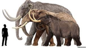 कोलंबियाई मैमथ, अफ्रीकी हाथी और अमरीकी मैस्टोडोन का रेखाचित्र. द फील्ड म्यूज़ियम