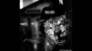 वियतनाम में दवा की दुकान पर बाघ का मुखौटा