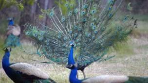 दिल्ली चिड़ियाघर, मोर