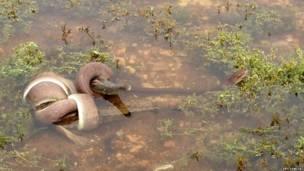 Batalha no lago Moondarra, ao norte do estado de Queensland, foi registrada por uma moradora local.