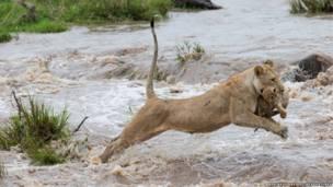 لبؤة تقفز في النهر وهي تحمل شبلها بين فكيها وسط اندفاع المياه