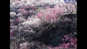 فصل الربيع في اليابان