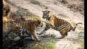 Бігун-тигр