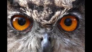 Ojos de búho
