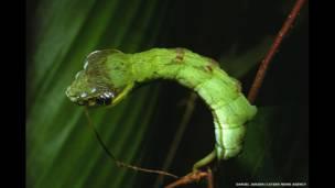 A lagarta Hemeroplanes sp, da Costa Rica, não se transforma apenas em larva e em mariposa. Ela também camufla-se como uma cobra para assustar seus predadores.