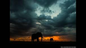 Gün batımında yağmur altında filler. Paul Goldstein / Rex Features