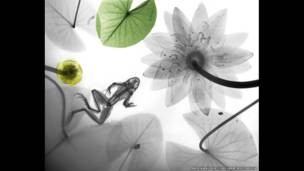 Nilüferlerle yüzen bir kurbağanın renkli röntgeni. Arie van't Riet / SPL