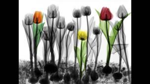 Radiografía a color de tulipanes. Arie van't Riet / SPL / Barcroft Media