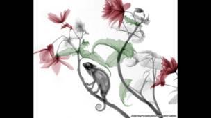 أشعة سينية ملونة لحرباء تجلس على نبات بيجونيا
