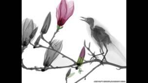 Manolya ağacının dalında bir kuşun renkli röntgeni. Arie van't Riet / SPL