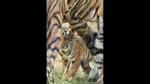 Tigres e filhotes. Andy Rouse/Rex Features
