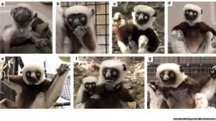 Estágios de vida de sifaka diademado (Foto: Scientific Data / Duke Lemur Centre)