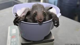 Bebê aiai sendo pesado (Foto: David Haring / Duke Lemur Centre)