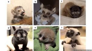 Lêmures bebês (Foto: Scientific Data / Duke Lemur Centre)
