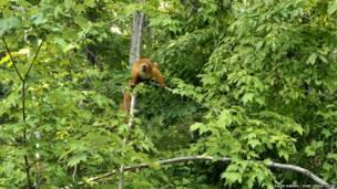 Hembra de lémur negro de ojos azules. David Haring / Duke Lemur Centre