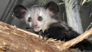 Elphaba, um aiai bebê (Foto: David Haring / Duke Lemur Centre)