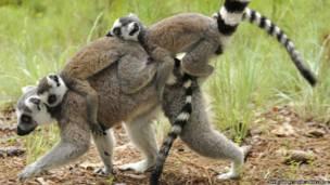 Mãe lêmur-de-cauda-anelada e gêmeos (Foto: David Haring / Duke Lemur Centre)