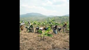 रवांडा के नगोमा गाँव में केले की सहकारी खेती