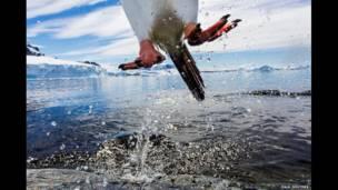 தாண்டிக் குதிக்கும் ஜெண்டூ பெங்குவின் --படமெடுத்தவர் அமெரிக்கப் புகைப்படக் கலைஞர் பால் சோல்டர்ஸ்