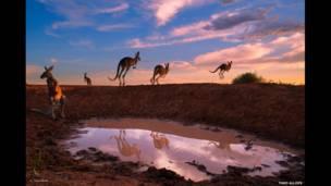 Su birikintisi yanındaki kırmızı kangurular, Theo Allofs (Almanya)