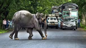 राष्ट्रीय राजमार्ग से होकर जाता जंगली हाथी.