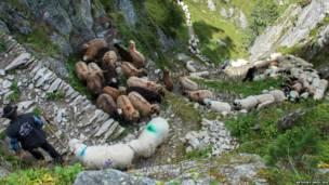 एल्पाइन भेड़े, स्विटरज़रलैंड
