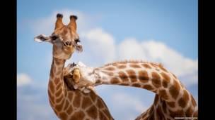 Giraffes,y Graham Morrison.