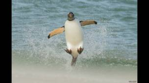 Un pingüino papúa saltando sobre las olas, de Tom Way.