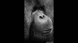 Rajang, un orangután. Por Sarah Kilshaw.