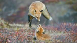 Un zorro rojo en los colores otoñales del Denali National Park and Preserve, en Alaska. Imagen de Dee Ann Pederson, cortesía de Nature's Best Photography