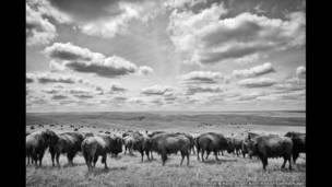 Rebanho de bisões na grande pradaria, Bad River Ranch (fazenda de Ted Turner), Fort Pierre, Dakota do Sul, EUA.