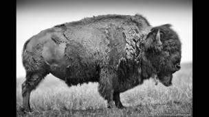"Bisão adulto visto de lado; no período da muda, ele perde seu ""casaco"" de inverno, Bad River Ranch (Rancho de Ted Turner), Fort Pierre, Dakota do Sul, EUA"