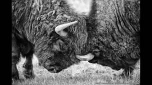 Dois bisões lutando para esclarecer qual é mais forte, comportamento típico no início da temporada de acasalamento, Custer State Park, Dakota do Sul, EUA .