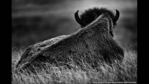 Búfalo visto por trás na Padraria dos Bisões, Custer State Park, Dakota do Sul, EUA.