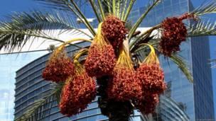 пальмы, увешанные гроздьями фиников