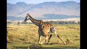 El nacimiento de una jirafa. Andreas Knausenberger / Caters News.