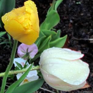 Поникшие во время сильного дождя тюльпаны