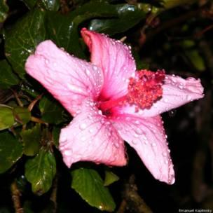 Цветок гибискуса во время дождя