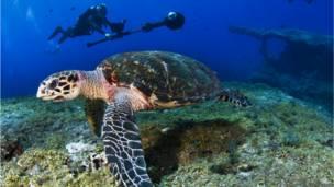 "Морская черепаха ""бисса"" (Courtesy of Catlin Seaview Survey)"