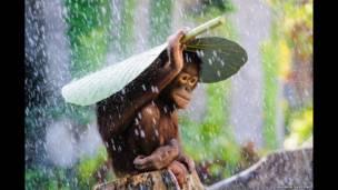 Yağmur altındaki orangutan, Andrew Suryono